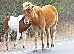 Pony 2019-2 (hughva) Tags: assateague pony