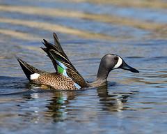 DSC_6146.jpg=Blue-winged Teal (laurie.mccarty) Tags: bird duck bluewingedteal nature wildlife water waterfowl
