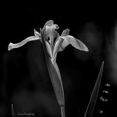 A monochrome of a Louisiana blue iris.......D800 (Larry Daugherty) Tags: iris wildiris louisianawildiris louisianairis louisianastatewildflower plantae angiosperms monocots asparagales indaceae indoideae irideae limniris hexagonae i giganticaerulea irisgiganticaerulea jeanlafittenaturestudyparklafittelouisiana lafittelouisiana southeastlouisiana swamp nikond800 nikon d800 nikon500mmf4lens