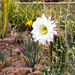 Springtime cactus blooms