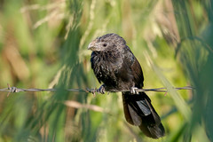 Groove-billed Ani (Alan Gutsell) Tags: groovebilled ani groovebilledani groove billed texasbirds texas anahaucnwr anahauc naturephoto nationalpark alan spring migration blackbird wildlife nature canon