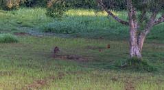 DSC_5398 (Adrian Royle) Tags: malaysia tamannegara travel holiday nature wildlife mammal deer forest outdoors nikon barkingdeer muntjac