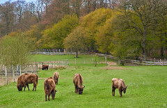 the smell of spring (Aspenlaub (blattboldt)) Tags: spring nature grass bison animal zeiss sony carlzeiss ilce7rm3 alpha7riii manualfocus manualiris manualexposure specialthankstochristophecasenaveandhisteamfromzeissfortheirpersonalinvolvementinthedevelopmentoftheloxialensline ⚶ emount manualwhitebalance laudātū berakhah בְּרָכָה loxia2485 loxia2485sonnar 85mm 51695547 sonnar green fence tree europe germany kiel rain