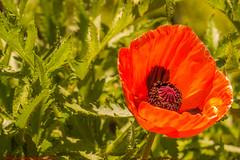 MACROFOTOGRAFÍA STAMEN POPPY NO CUT SHOT- PAINTING-REAL JARDÍN BOTÁNICO DE MADRID-Madrid (FRANCISCO DE BORJA SÁNCHEZ OSSORIO) Tags: madrid moment macro macroshot mariposa macrofotografia instant instante realjardínbotánicodemadrid españa exposure enfoque encuadre exposicion flechazo focuspoint focus foco flor flower flores flowers foto funny framing amor arrow autumn abeja abejorro otoño photo passion pasión primavera spring summer shot verano vida love light luz life lovely nature naturaleza nice bokeh belleza beauty butterfly bumblebee colour color composition composición colourtemperature timeexposure tiempodeexposición temperaturadecolor detalles detalle detail details desenfoque disparo delicado delicate divertido dof depthoffield