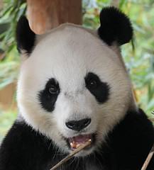 giant panda Ouwehands 094A0070 (j.a.kok) Tags: animal bear beer bamboebeer bamboobear panda giantpanda grotepanda china asia azie mammal zoogdier dier ouwehands