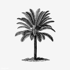 Vintage palm tree illustration (Free Public Domain Illustrations by rawpixel) Tags: british antique art beach black blackandwhite cc0 coconut creativecommons0 decoration design designresource drawing engraving etching europe european exotic handdrawn icon illustration ink leaf name natural nature nostalgic object oldfashioned ornament palm pen psd publicdomain retro sketch style summer symbol tattoo tree tropical tropics vintage