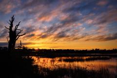 Sunrise over marsh at Babcock Wildlife Management Area near Punta Gorda, Florida (diana_robinson) Tags: sunrise silhouette spanishmoss dramaticsky clouds reflection reflecting marsh babcockwildlifemanagementarea fredcbabcockcecilmwebbwildlifemanagementarea puntagorda florida