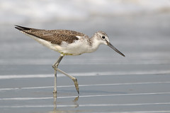 Greenshank, South Goa, India 5 (JohnMannPhoto) Tags: greenshank southgoa india