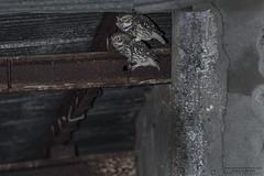 AP5I5103 (Jacques van Wijlick) Tags: athenenoctua leziria littleowl mochogalego steenuil