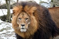 panthera leo (Joachim S. Müller) Tags: löwe pantheraleo panthera leo lion groskatze katze cat säugetier mammal tier animal zoo tierpark hellabrunn tierparkhellabrunn zoomünchen münchen munich bayern bavaria deutschland germany