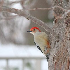 090. Woodpecker (Misty Garrick) Tags: arboretum universityofminnesotalandscapearboretum landscapearboretum flowershow bird birds birding