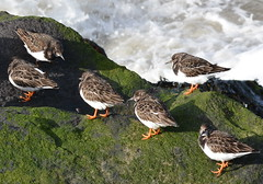 Arenaria interpres (Ruddy Turnstone / Steenloper) (Bas Kers (NL)) Tags: feb 2019 europe netherlands zuidholland hoekvanholland