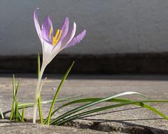 Crocus Growing Between Patio Slabs (velodenz) Tags: velodenz fujifilmx100f flower fleur bloom blum crocus saffron pollen petal leaf patio bnes banes england united kingdom uk great britain gb sunlight whitw yellow purple views 2000views 2000