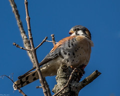 Taking a break (Fred Roe) Tags: nikond7100 nikonafsnikkor200500mm156eed nature naturephotography national wildlife wildlifephotography animals birds birding birdwatching birdwatcher falcon raptor americankestrel falcosparverius flickr colors outside peacevalleypark