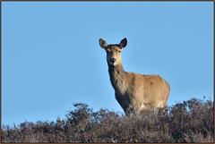 Red Deer (image 3 of 3) (Full Moon Images) Tags: dunwich heath nt national trust wildlife nature reserve animal mammal red deer