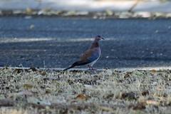 dove (22Lavender22) Tags: elements nature d3400 nikon wildlife australia