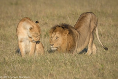 Love is in the air! (Duncan Blackburn) Tags: 2019 big5 cat kenya masaimara lion mammal nature nikon wildlife ngc npc