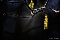 In The Beginning There Was Darkness? Then This Must Be The Beginning! (Alfred Grupstra) Tags: nature tree branch closeup plant season outdoors forest winter twig leaf macro springtime backgrounds yellow beautyinnature nopeople flower growth woodland catkins