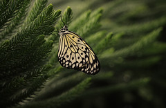 The second day of life (akigabo) Tags: nature montreal light shadows butterfly colors green life tree dof sunset canon t5i depthoffield dusk blur bokeh canada texture
