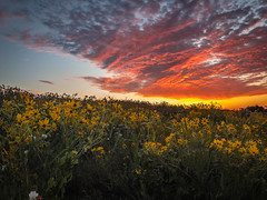 Spring is coming (Jims_photos) Tags: cloudy daytime nopeople outside shadows texas wildflowers yellowflower yellowflowers unitedstates iphone7 outdoor adobelightroom adobephotoshop sunnyday sunrise flowers jimallen jimsphotos jimsphotoswimberleytexas landscape lightroom clouds