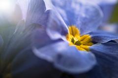 Primrose (blancobello) Tags: primel blüte blossom primrose sony alpha 6500 100mm macro