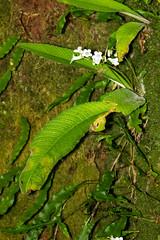 Streptocarpus gardenii, Magoebaskloof, Limpopo, Dec 2018 (roelofvdb) Tags: 2019 date december limpopo magoebaskloof place plants year
