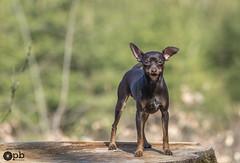 Ooligan vous sourit :-) (Philippe Bélaz) Tags: ooligan pragois ratierdeprague animal animaux animauxdecompagnie bois brun chiens chocolat forêts souches sourires