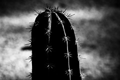 Honky Tonk (Tom Levold (www.levold.de/photosphere)) Tags: fuji xpro2 xf90mm sw bw cactus kaktus sukkulente succulent