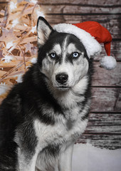 Merry Christmas!! (Rainfire Photography) Tags: christmas petphotography dog siberianhusky blueeyes nikon rainfirephotography