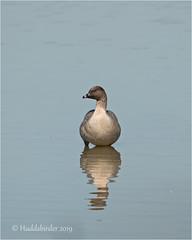 Pink footed Goose (Huddsbirder) Tags: huddsbirder adwick washlands pinkfooted goose