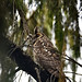 Abyssinian Owl (Bale Mountains NP)