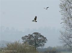 Osprey (Huddsbirder) Tags: huddsbirder a6500 sony fe70300mm osprey rutland