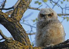 Great Horned Owlet...#12 (Guy Lichter Photography - 4.4M views Thank you) Tags: canon 5d3 canada manitoba winnipeg wildlife animal animals bird birds owl owls owlet greathornedowl