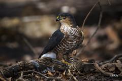 Sharp-shinned Hawk (jt893x) Tags: 150600mm bird d500 jt893x nikon nikond500 raptor sigma sigma150600mmf563dgoshsms accipiterstriatus sharpshinnedhawk hawk coth alittlebeauty coth5 sunrays5