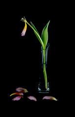 Tulipa 4 (kudi.buehlmann) Tags: einsam traurig sigma nikon flowers naure tulip tulpe tulipa blume schnittblume macro rosa farbig studio vergänglich