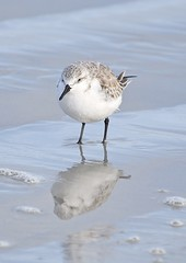Sanderling (MJ Harbey) Tags: water sea bird sand ocean atlanticocean newsmyrnabeach florida usa animalia aves scolopacidae calidrisalba nikon d3300 nikond3300