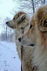 My dogs (catha.li) Tags: lgg4 sweden dog greatpyrenees pyreneer winter naturewatcher soe