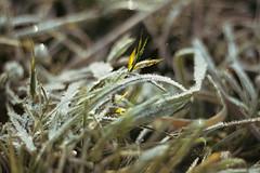 Reif Detail (ECKE86) Tags: eckernförde green yellow gras winter frost snow schleswigholstein nature 2019 eos70d bokeh