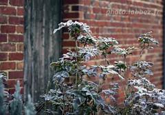 Un hiver dans le Nord (louis.labbez) Tags: 2019 nature jardin labbez paysage nord plante mur wall brique rouge red houx feuilles gel gelã©e ice white blanc blanche poete door bois wood leave green vert hautsdefrance france gelée