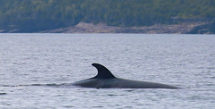 Minke Fin (peterkelly) Tags: digital canon 6d northamerica canada newfoundlandlabrador trinitybay whale minkewhale fin shoreline shore coast coastline water