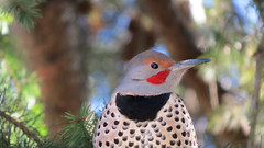 Red-shafted Northern Flicker (shesnuckinfuts) Tags: redshaftednorthernflicker colaptesauratus male kentwa shesnuckinfuts january2019 nature wildlife bird woodpecker