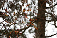 berries_landscape (Your Average Comrade) Tags: shallowdepthoffield berries nature bokeh