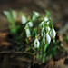 A pack of snowdrops