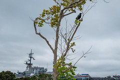 Bird in Tree (Serendigity) Tags: cv41 california navy pacificocean sandiego usa usn ussmidway unitedstates aircraftcarrier bird floating heritage maritime museum ocean sea seafront shoreline tree waterfront unitedstatesofamerica