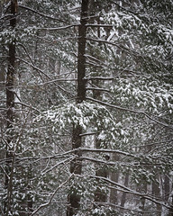 In the Pines (lclower19) Tags: snow winter trees evergreen pines