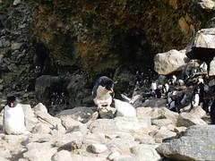 New Island, Falkland Islands (Mulligan Stu) Tags: rockhopperpenguins newisland falklandislands
