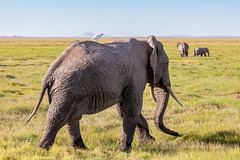 Along For The Ride (Jill Clardy) Tags: africa kenya vantagetravel safari 201902189l8a7732 elephant cattle egret bird ride rider amboseli national park africaqn