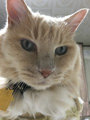 Norio's (Arbitrarily Assigned) 18th Birthday Portrait (sjrankin) Tags: 18march2019 edited animal cat closeup norio tunic bed bedroom kitahiroshima hokkaido japan