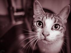 Catface (Siczek Photography) Tags: cat monochrome sepia closeup portrait wild eyes
