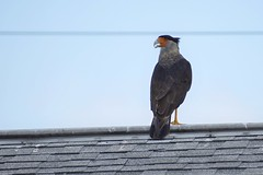 Who u lookin at (NC Mountain Man) Tags: caracara bird raptor roof wire shingles sky feathres beak eye florida ncmountainman nikon d3400 phixe lowresolutionversion dof